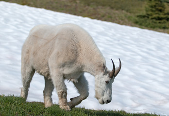Male Billy Mountain Goat on snow on Hurricane Ridge in Olympic National Park in Washington state United States