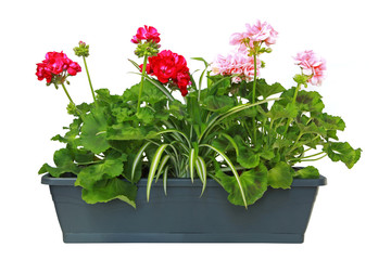 Jardinière de géranium zonal