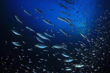 Tuna fish hunting sardines