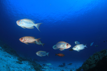 Fish underwater - Crescent-tailed Bigeyes on coral reef