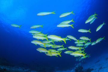 School of fish - Yellowfin Goatfish