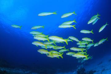 School of fish - Yellowfin Goatfish