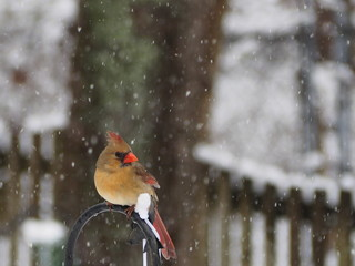 female Northern cardinal (Cardinalis cardinalis) in the snow