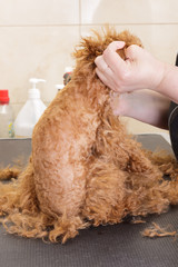 Chocolate toy poodle on haircut