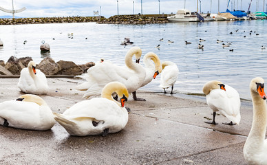 Swans on the asphalt by the lake