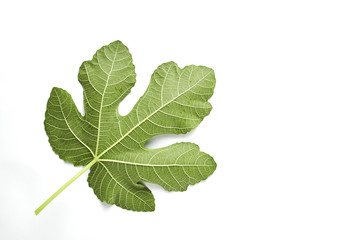 Fig leaf is on the white background