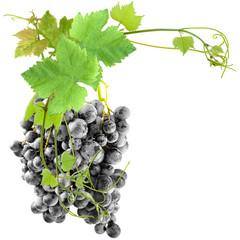 grappe de raisin rouge et pampres de vigne