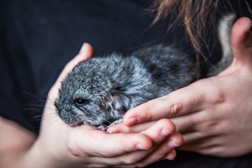 Little gray chinchilla is sitting on the hands of a child