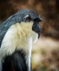 the Diana monkey