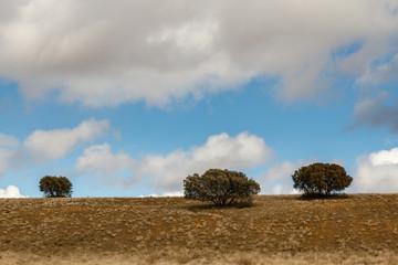 Paisaje dehesa con encinas. Quercus ilex.