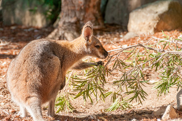 A western grey australian kangaroo with joey looking out of the pouch, eats leaves