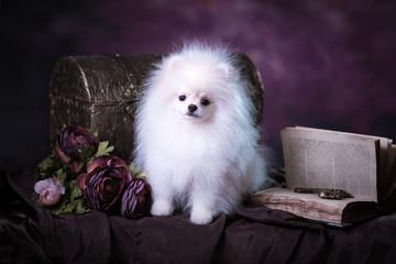 Cute White fluffy puppy