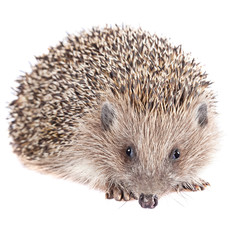 Cute wild hedgehog isolated