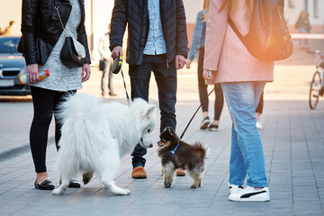 man and a woman are walking their pets in the city. Meeting of dog breeders. small pomeranian dog first saw a big samoyed and looks at him in surprise.