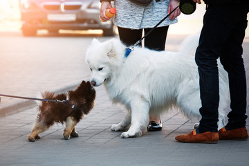 .Meeting with pets on the street. Little pomeranian puppy sniffing a big dog