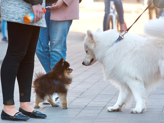Dogs and people in the city. .acquaintance of a small puppy with a big white dog. meeting of dog breeders
