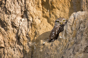 Two little owls (Athene noctua) hiding in a sandy wall