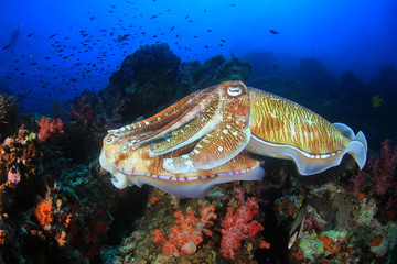 Pharaoh Cuttlefish mating