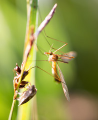 Large mosquito in the green grass in nature