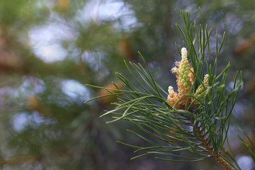 young buds of pine on branches, spring greens natural background