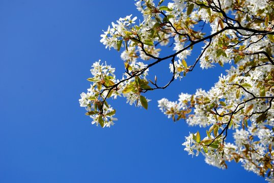White blossoming branches of juneberry or snowy mespilus or Amelanchier lamarckii aginst a deep blue sky