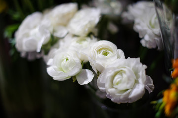 Amazingly beautiful white ranunculus on a blurred background