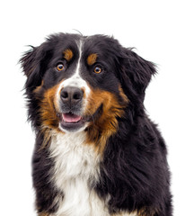 Wall Mural - portrait of a Bernese Mountain Dog
