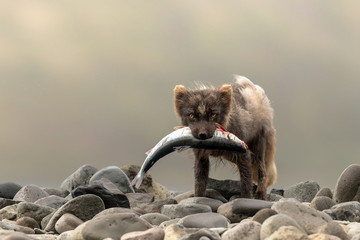 Arctic Fox in Summer at Iceland