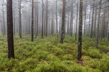 Misty Spring spruce forest with blueberries