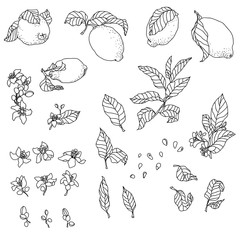 Set with lemon plant. There are fruit, flowers, leaves, buds, seeds and branches