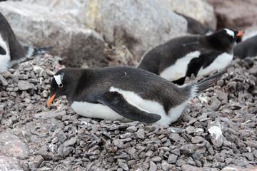 Gentoo penguin laying on stone
