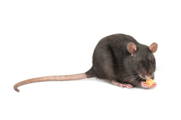 Gray rat with cheese