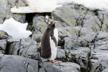 Gentoo penguin going