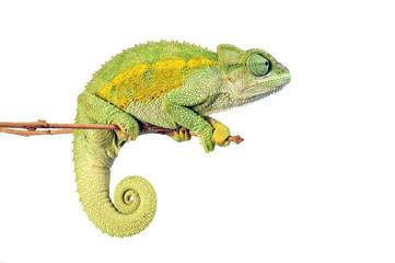 Fotorollo Chamaleon Raues Bergchamäleon (Trioceros rudis) - coarse chameleon