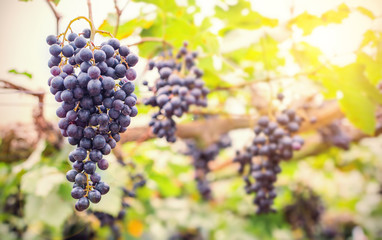 Vineyards at sunset in autumn harvest. Ripe red grapes in fall. Closeup vine grapes
