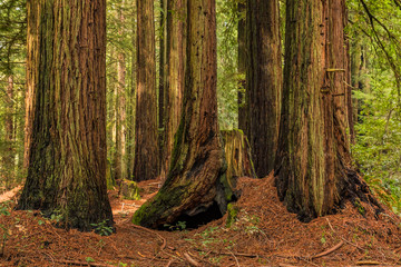 Mossy tree trunks of sequoias the Redwoods Forest in California