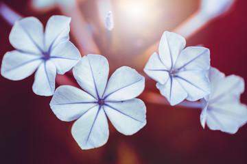 Macro white flowers. Nature closeup photo of beautiful plants