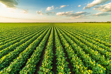 Green ripening soybean field, agricultural landscape