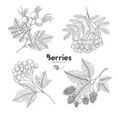 Collection of hand drawn berries isolated on white background. Botanical illustration of engraved berry. Viburnum, rowan, raspberry, rosehip. Design for package of health and beauty natural products.
