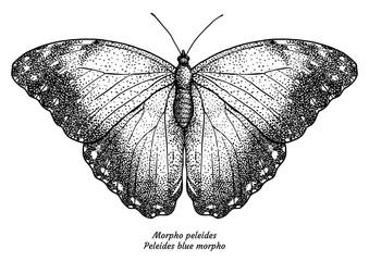 Morpho peleides, Peleides blue morpho, illustration, drawing, engraving, ink, line   art, vector