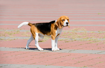 Beagle dog looks aside.  The Beagle stands in the park.