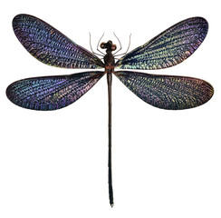 black and blue dragonfly (Vestalis luctuosa)