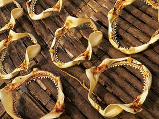 Shark jaws drying, fishing village pahang, malaysia