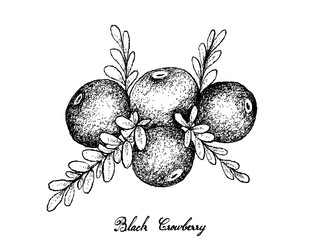 Hand Drawn of Black Crowberry on White Background