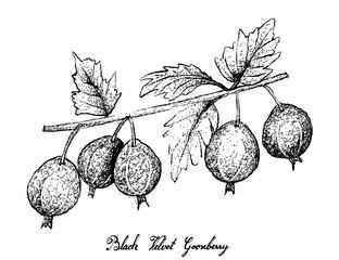 Hand Drawn of Black Velvet Gooseberry on White Background