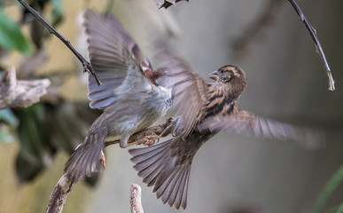 the sparrows fighting for breakfast in the harsh winter