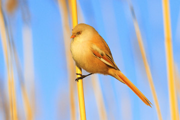 cute yellow fluffy bird sits on a reed
