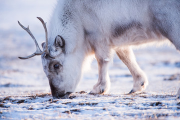 Landscape with wild reindeer. Winter Svalbard.  with massive antlers in snow, Norway. Wildlife scene from nature Spitsbergen