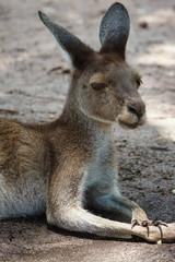 Western Grey Kangaroo, Macropus fuliginosus, photo was taken in Australia