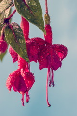 Fuchsia hanging flower